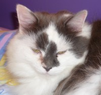 White and grey long haired cat
