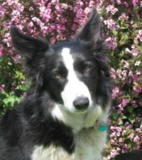 Black and white border collie dog in front of flowering plant