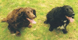 Two springer spaniel dogs outisde on grass -one brown, one black and white