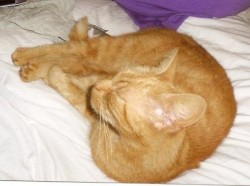 Picture of ginger cat curled up asleep on bed