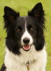 Black and white border collie dog sitting outside