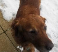 Golden Retriver dog outside in snow