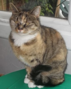 Picture of torbie cat Jessie who was not getting on with another cat