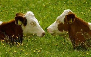 Image of two cows lying down face to face